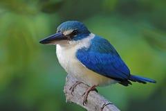Collared kingfisher Todiramphus chloris Mangrove Birds of Thailand Stock Photo