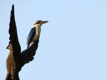 Collared Kingfisher Royalty Free Stock Photos