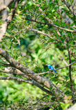 Collared Kingfisher Waiting On Branch Of Tree In The Park. stock photography