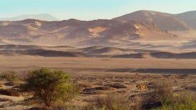 Collared leeuwin in de Woestijn van Namibië stock afbeelding