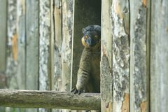 Collared lemur. On the wood Royalty Free Stock Photography