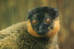 Collared lemur Stock Image