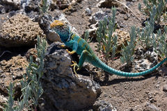 Collared Lizard 1 Royalty Free Stock Photo