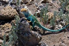 Collared Lizard 1. Crotaphytus collaris, Northern Arizona, collard lizard sitting on volcanic rock Royalty Free Stock Photo