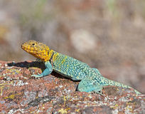 Collared Lizard 11 Royalty Free Stock Photo
