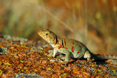 Collared Lizard Stock Images