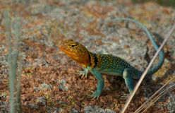 Collared Lizard Royalty Free Stock Photo