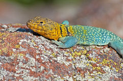 Collared Lizard 12 Royalty Free Stock Photo