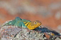 Collared Lizard Royalty Free Stock Images