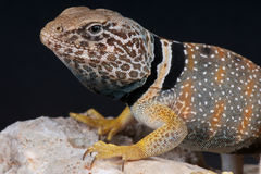 Collared lizard. The collared lizard, Crotaphytus bicinctores, is a North American lizard that can reach a foot (30 cm) long in length (including the tail), with Stock Image