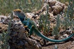 Collared Lizard 2. Crotaphytus collaris, Northern Arizona, collard lizard sitting on volcanic rock Royalty Free Stock Photography