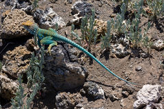 Collared Lizard 3 Stock Photo