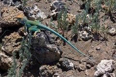 Collared Lizard 3. Crotaphytus collaris, Northern Arizona, collard lizard sitting on volcanic rock Stock Photo