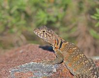 Collared Lizard 6 Royalty Free Stock Images