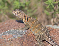Collared Lizard 7 Royalty Free Stock Images