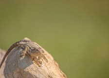 Collared Lizard  (Crotaphytus collaris) Royalty Free Stock Photo