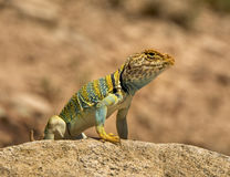 Collared Lizard Stock Photo