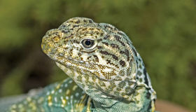 Collared lizard (crotaphytus collaris) Stock Photos