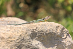 Collared Lizard  (Crotaphytus collaris) Stock Image