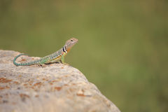 Collared Lizard  (Crotaphytus collaris) Royalty Free Stock Images