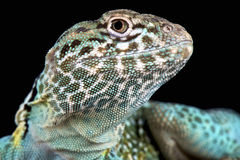 Collared lizard (Crotaphytus collaris) Stock Photography