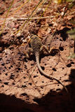 Collared lizard Stock Photos