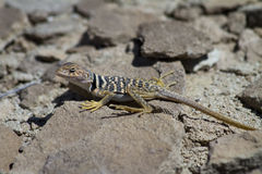 Collared Lizard Royalty Free Stock Image