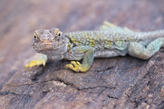 Collared Lizard. On petrified wood, Petrified Forest National Park, Arizona Stock Image