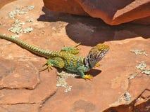 Collared Lizard on Red Rock in Sedona, Arizona royalty free stock photos