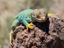 Collared Lizard On Rock stock images
