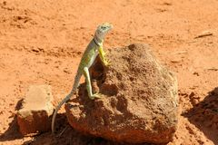 Collared lizard: yellow against orange background Stock Photos