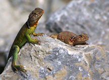 Collared lizards. Male and female collared lizards on rock royalty free stock images