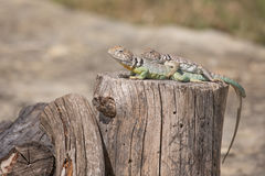 Collared Lizards - Crotaphytus collaris. Profile image of two collared lizards with the bottom lizard with a broken tail bathes in the sun on a tree stump Stock Photo