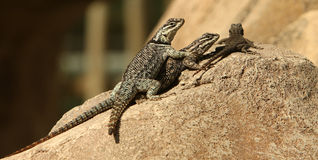 Collared Lizards Stock Image