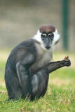 Collared mangabey. The collared mangabey sitting in the grass Stock Photography