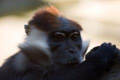 Collared mangabey monkey. Stock Photo