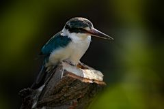 Collared mangrove Kingfisher, Todiramphus chloris, detail of exotic African bird sitting on the branch in the green nature habitat royalty free stock photo