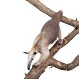 Collared Miereneter, Tamandua-tetradactyla op wit Royalty-vrije Stock Foto