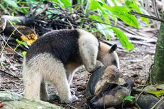 Collared Mierenetertamandua die van Kokosnoot in het Nationale Park van Corcovado, Costa Rica eten royalty-vrije stock foto's