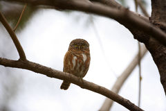 Collared Owlet Royalty Free Stock Images