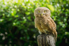 Collared owlet Glaucidium brodiei standing on Stump in the morning Stock Photography