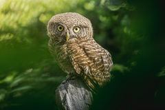Collared owlet Glaucidium brodiei standing on Stump in the morning Royalty Free Stock Photography