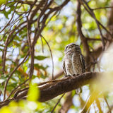 Collared Owlet Stock Images