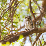 Collared Owlet Stock Photo