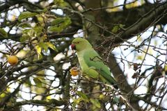 Collared parakeet in green colour making a lot of noise in a tree in park Schakenbos in Leidschendam in the Netherlands. Collared parakeet in green colour stock photography