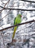 Collared parakeet in winter (France Europe) Stock Photo