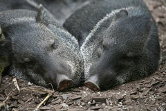 Collared peccaries. Two sleeping peccaries in a german zoo Royalty Free Stock Photography