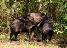 Collared peccaries greeting. Collared peccaries or javelinas greeting each other.  Collared peccaries inhabit the southwestern United States and northern Mexico Stock Images