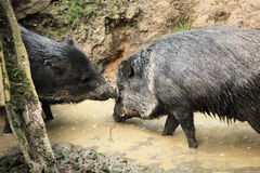 Collared peccaries known as wild pigs in mud.  Stock Image