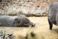 Collared peccaries known as wild pigs swimming in muddy splash.  Royalty Free Stock Photo